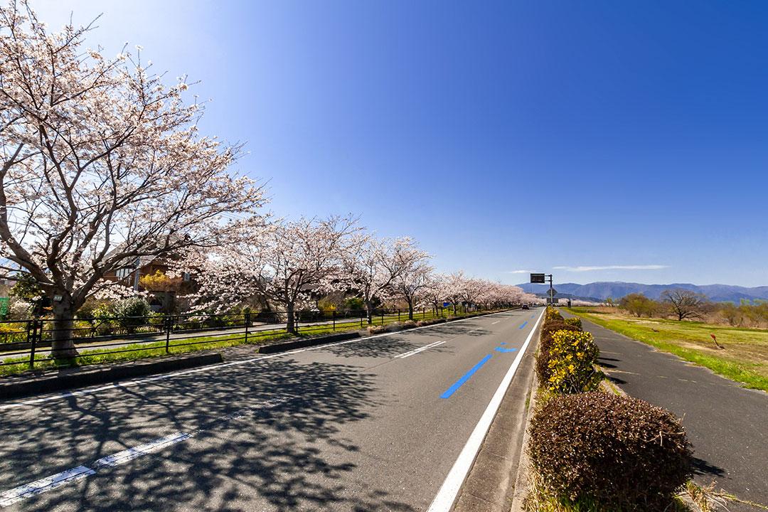 風車街道の桜並木