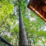 ウッドデッキから伸びる一本杉